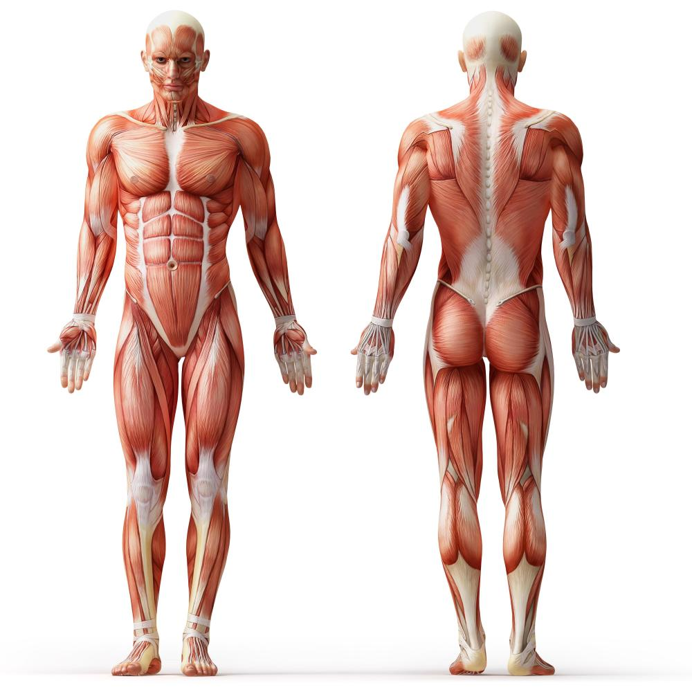 muscletraining.org.uk | Tag Archive | muscle