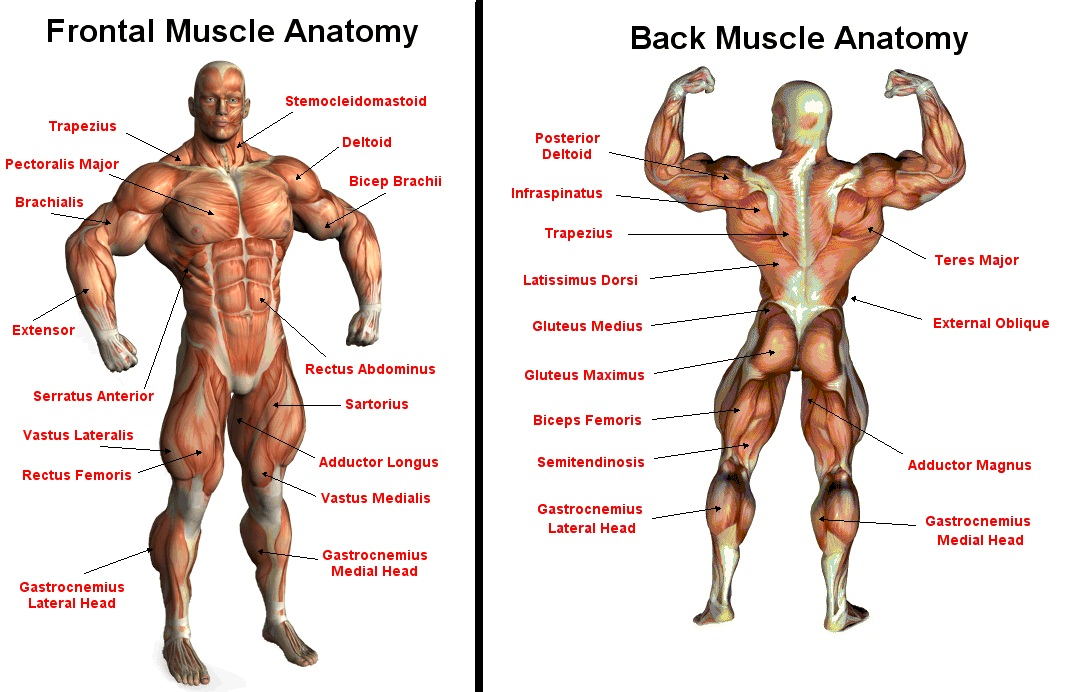 muscletraining.uk | tag archive | muscle, Muscles